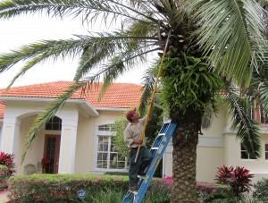 Palm-Pruning1